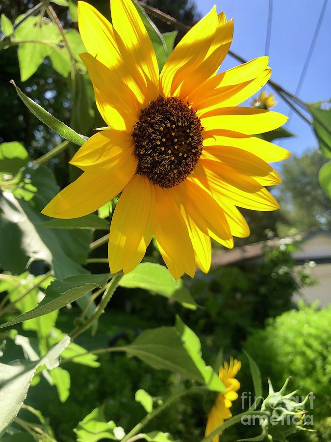 Flowers Photograph - Sunflower In The Sun by Melissa OGara