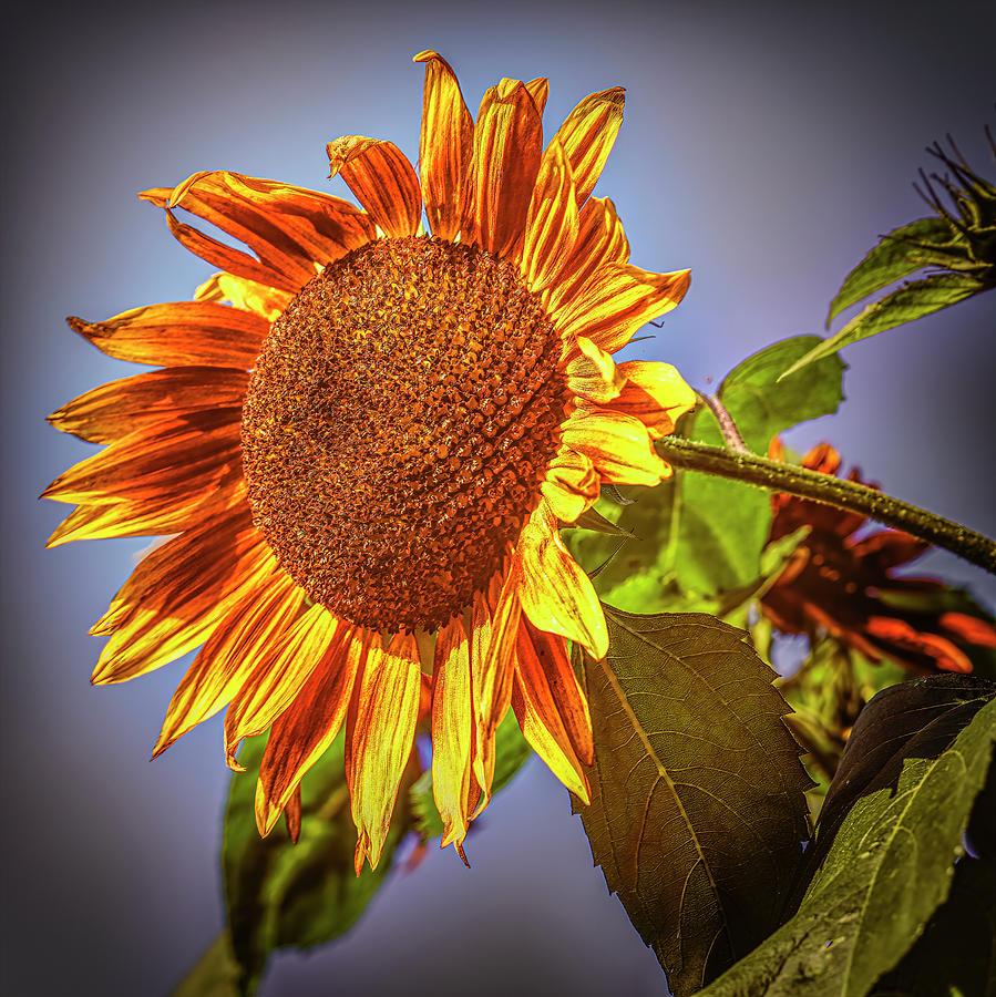 Sunflower #j1 by Leif Sohlman