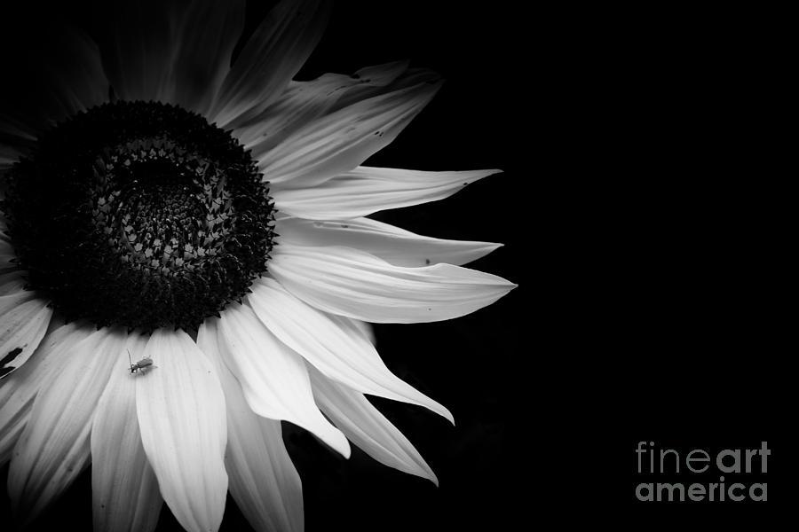 Sunflower by Jimmy Ostgard