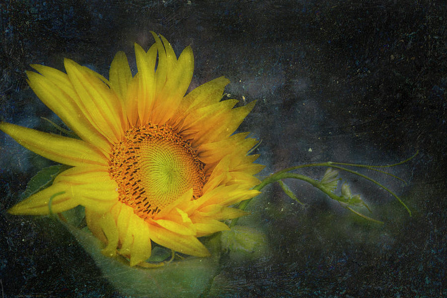 Sunflower by K Powers Photography