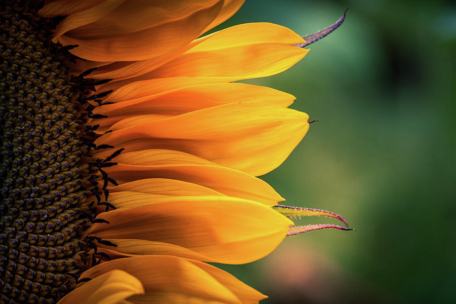 Sunflower Macro by Allin Sorenson