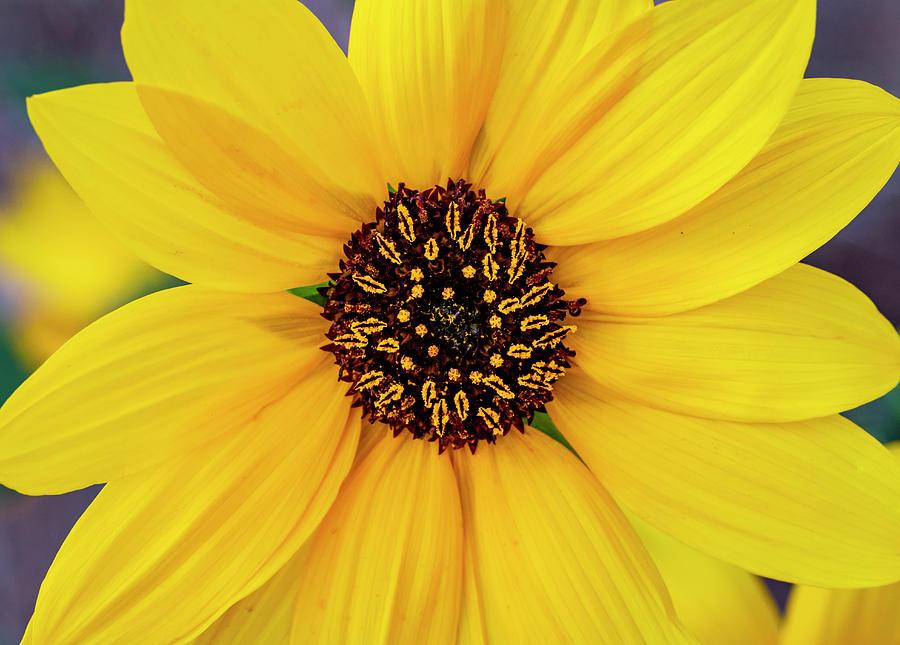 Sunflower by Michael Chatt
