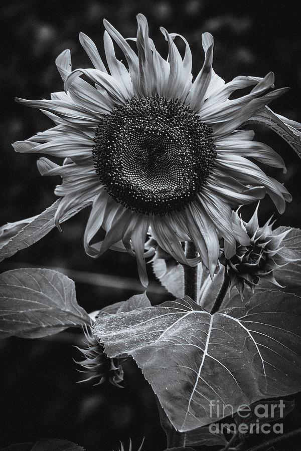 Sunflower Noir. Photograph by Stephen Geisel