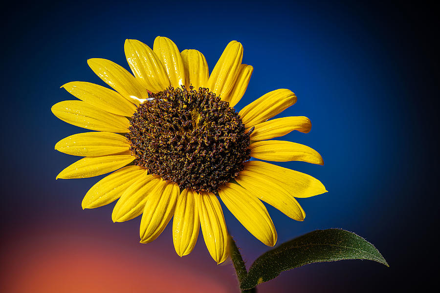 Sunflower on Blue by Fred J Lord