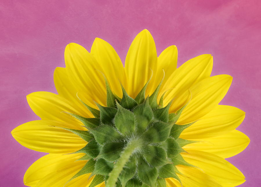 Sunflower on Pink - Botanical Art by Debi Dalio by Debi Dalio