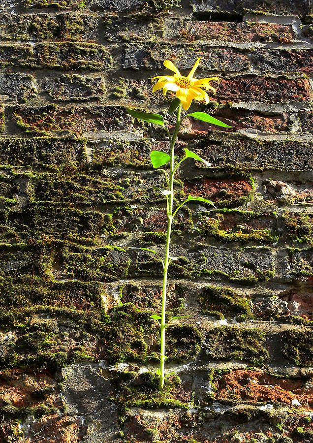 Sunflower On The Wall by Lachlan Main