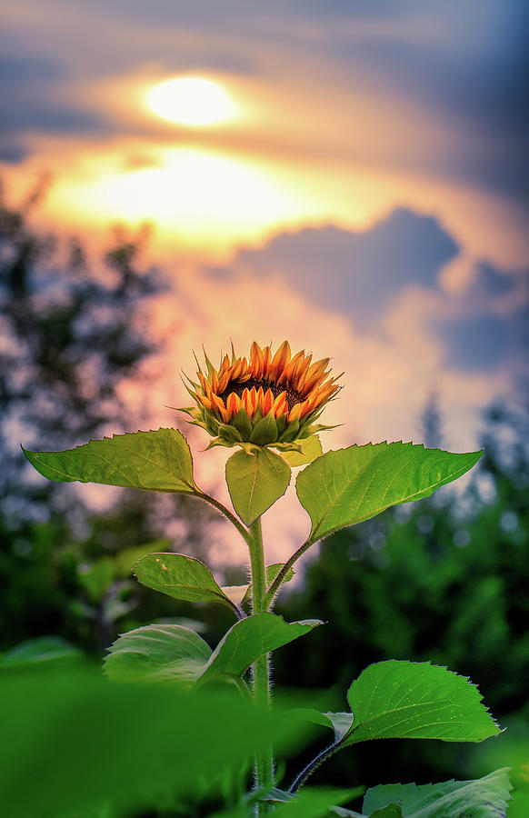 Sunflower opening to the light by Allin Sorenson