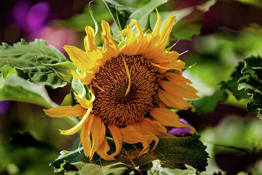 Sunflower Photograph - Sunflower Power by John Heywood