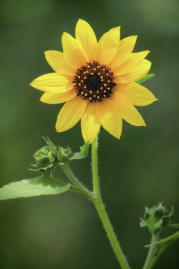 Sunflower Power  by Saija Lehtonen