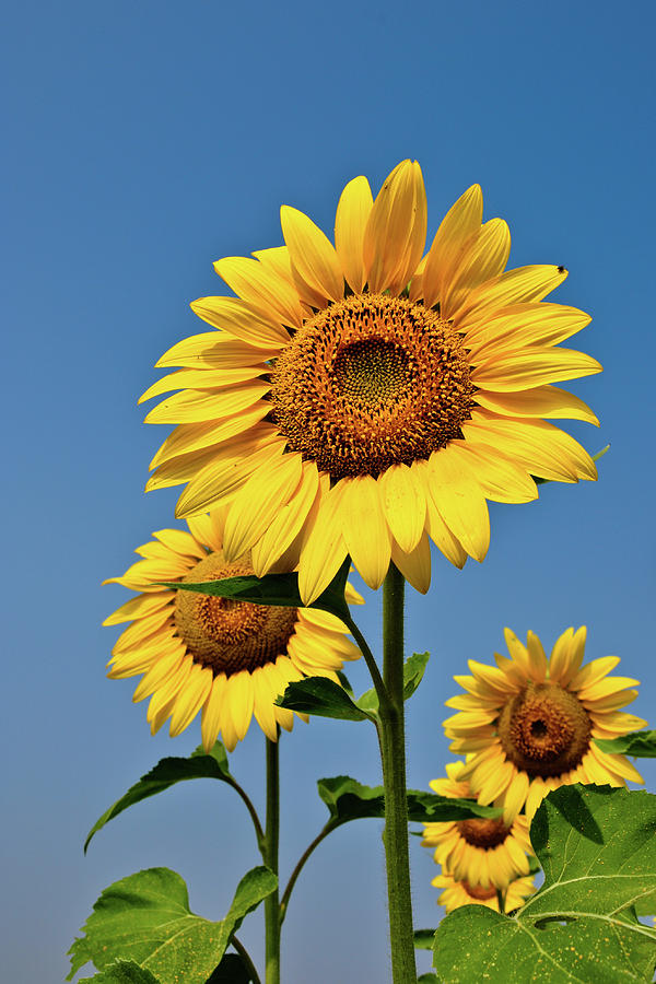 Sunflower Photograph by Praveen P.n