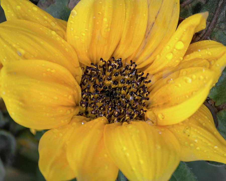 Sunflower Rain by Stewart Helberg