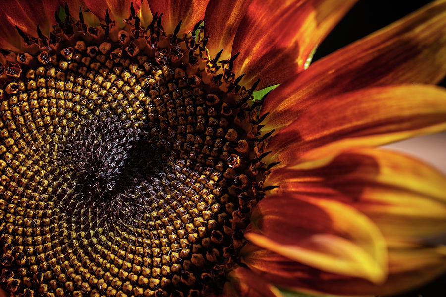 Sunflower Rising by Glenn DiPaola