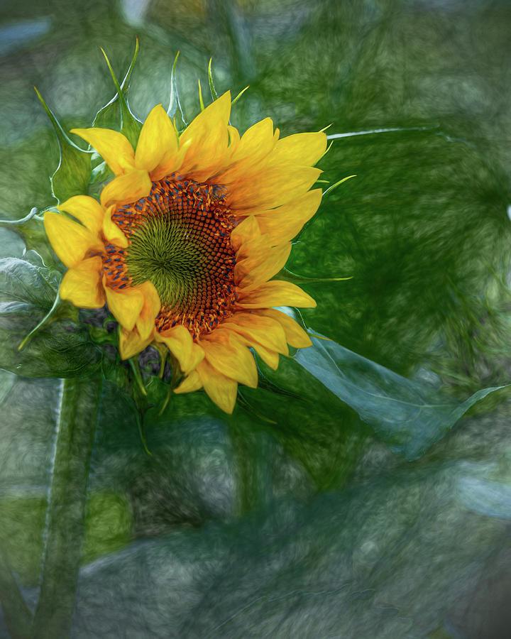 Sunflower by Rod Best