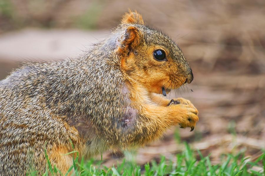 Sunflower Seed Eating Squirrel by Don Northup