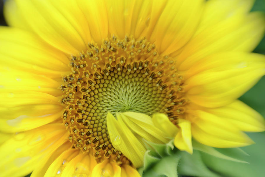 Sunflower Summer by K Powers Photography