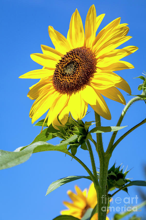Sunflower Summer Landscape With Blue Skies Art Print by David Millenheft