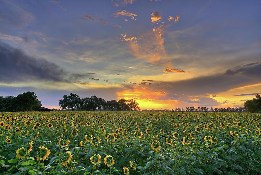 sunflower sundown by Kenny Nobles