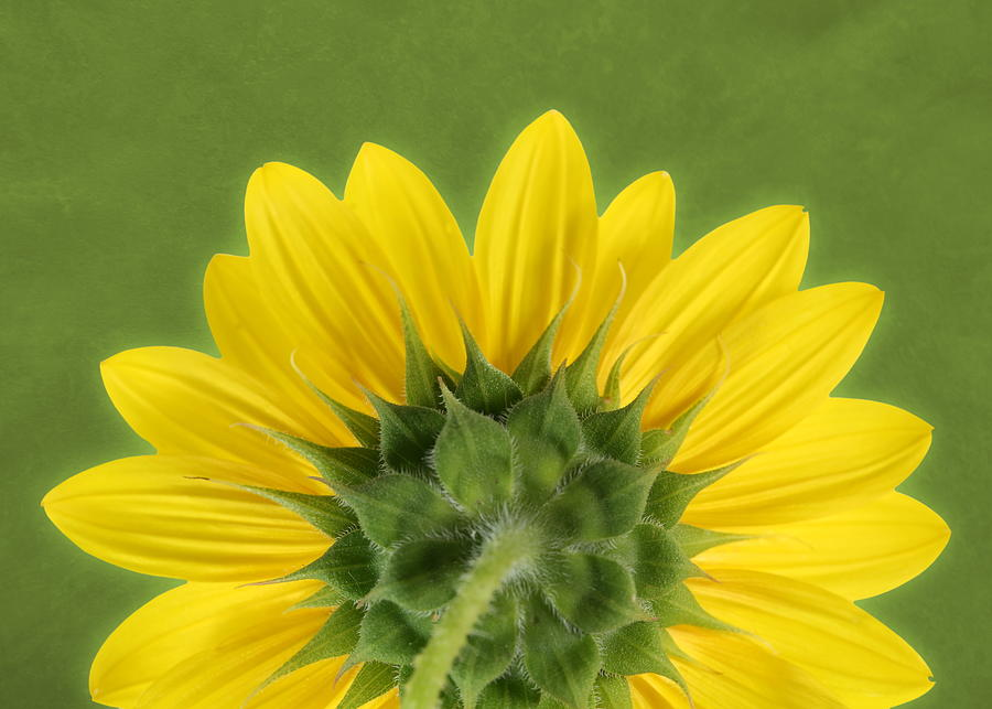 Sunflower Sunrise - Botanical Art by Debi Dalio
