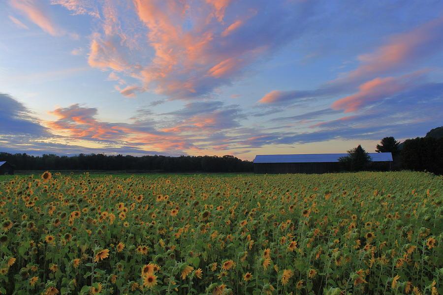 Sunflower Sunset by John Burk