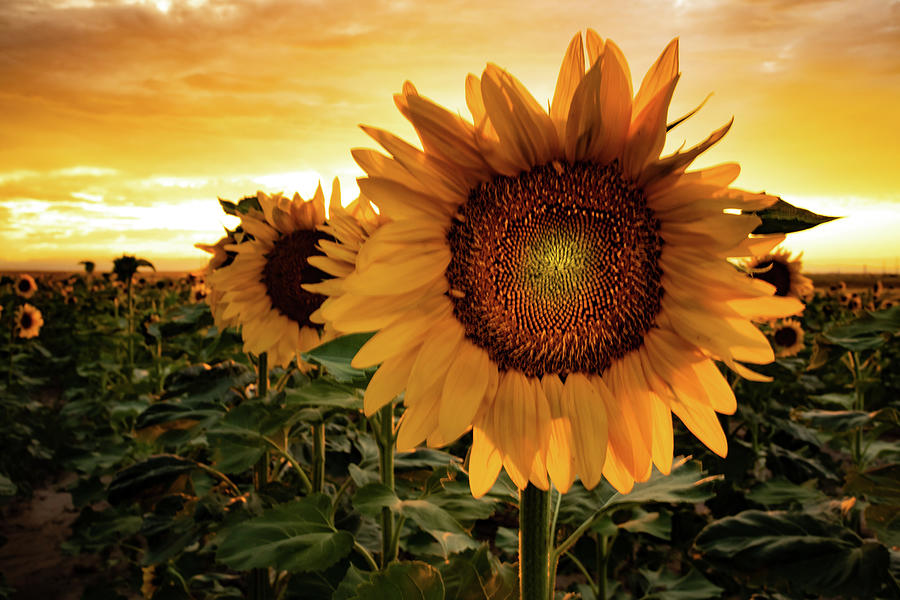 Sunflower Sunset by Kevin Schwalbe