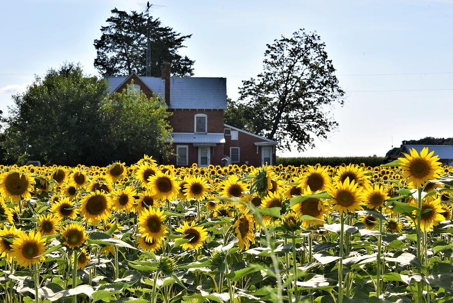Sunflower View by Kim Bemis