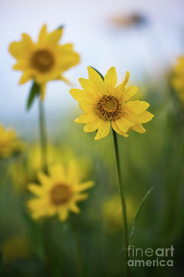 Sunflower  by Vincent Bonafede
