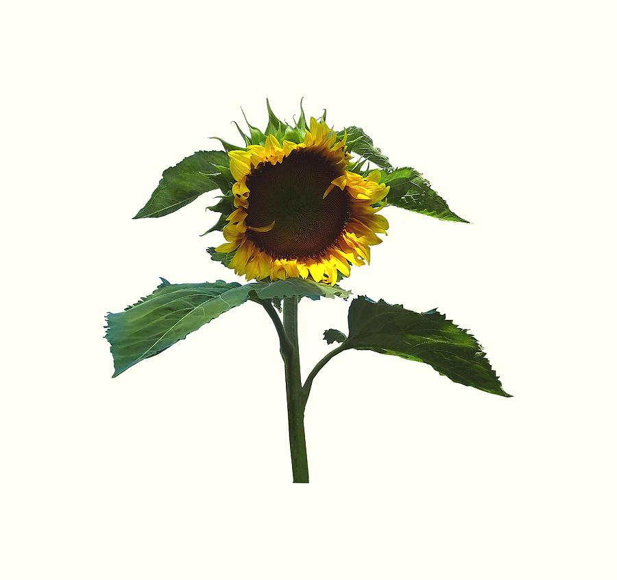 Sunflower With Frilly Edge by Susan Savad