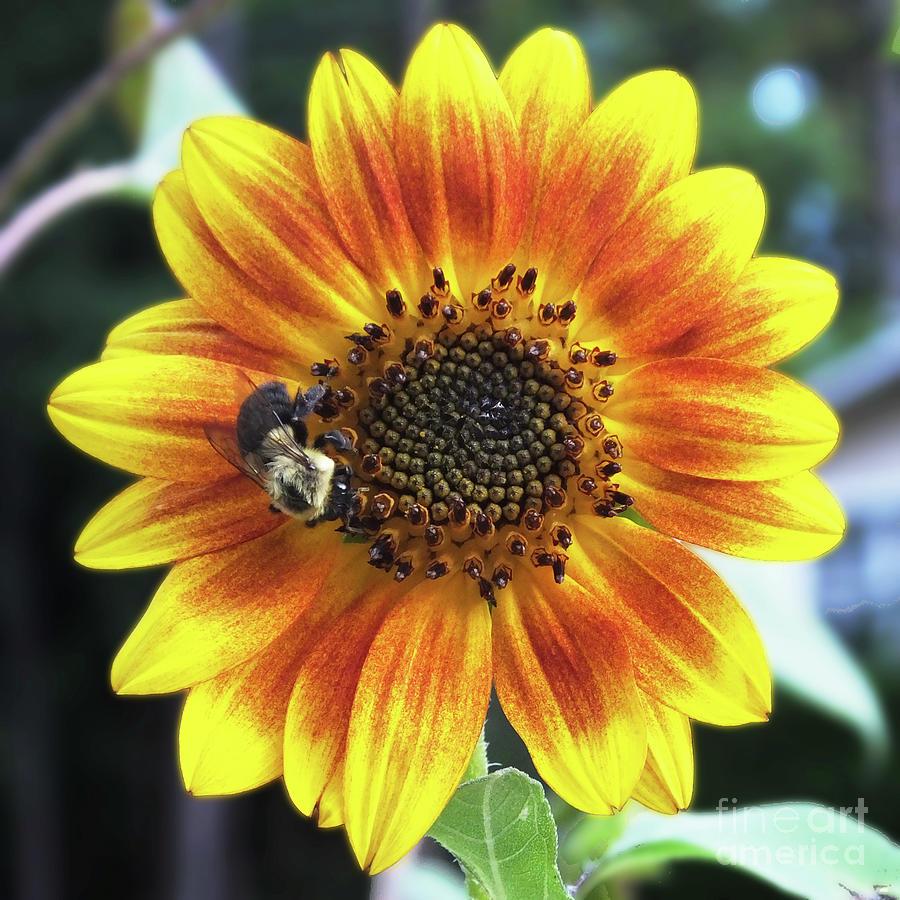Sunflower55 by Lizi Beard-Ward