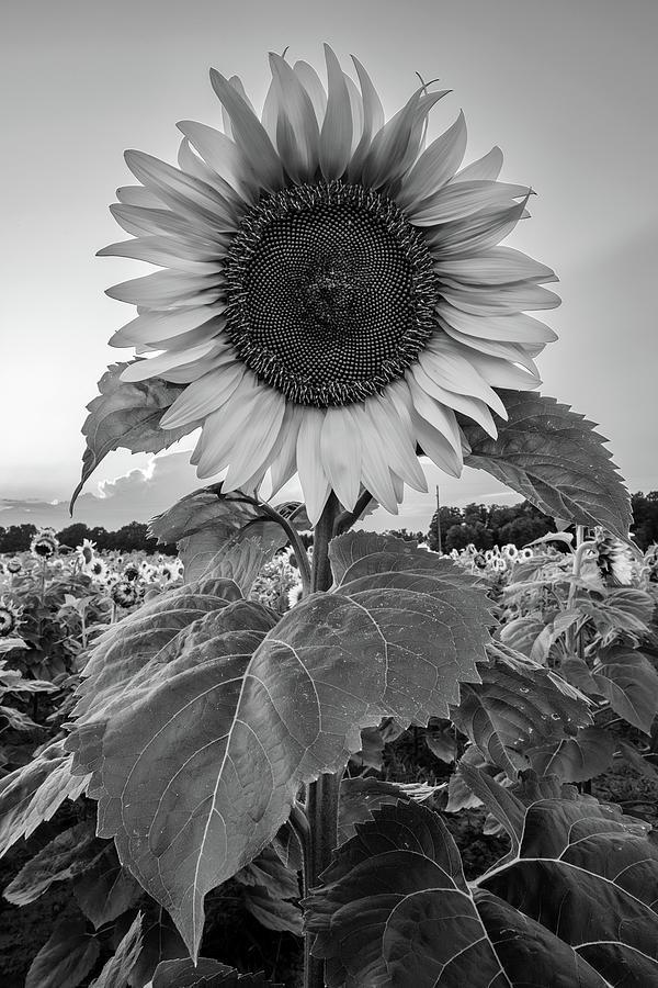 Sunflowers 10 by Heather Kenward