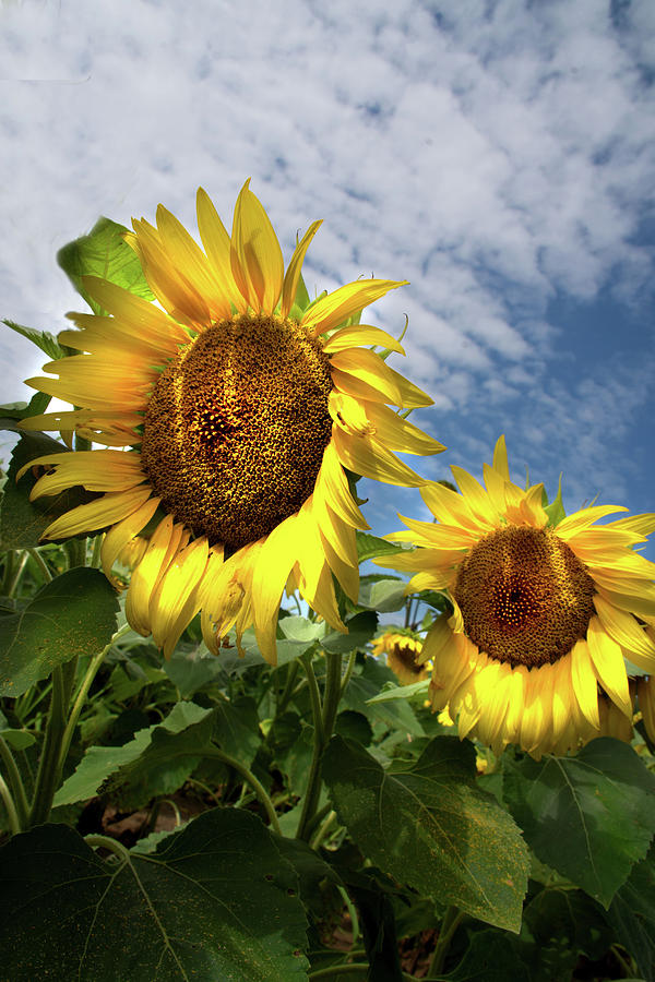Sunflowers 3 by Jolynn Reed