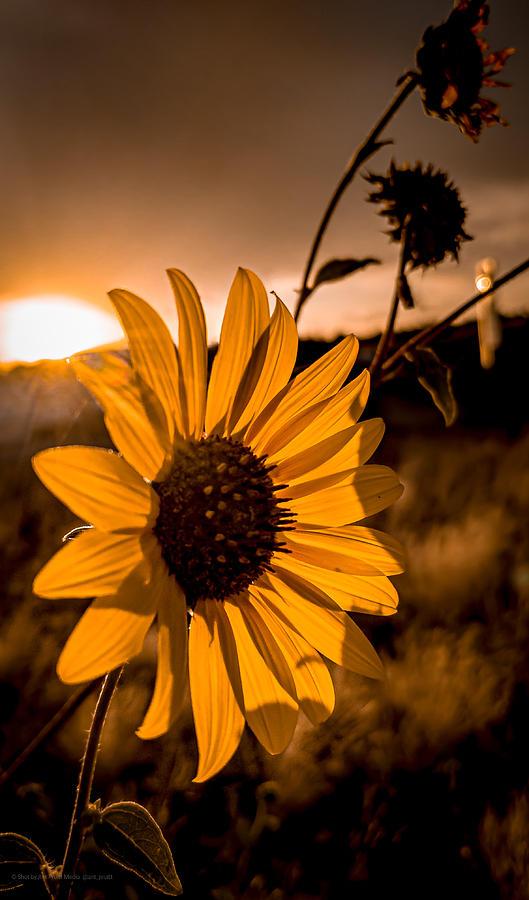 Sunflowers and Sunset of Arizona by Ant Pruitt