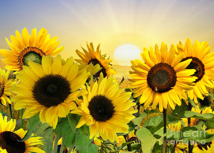 Sunflowers and Sunshine by Morag Bates
