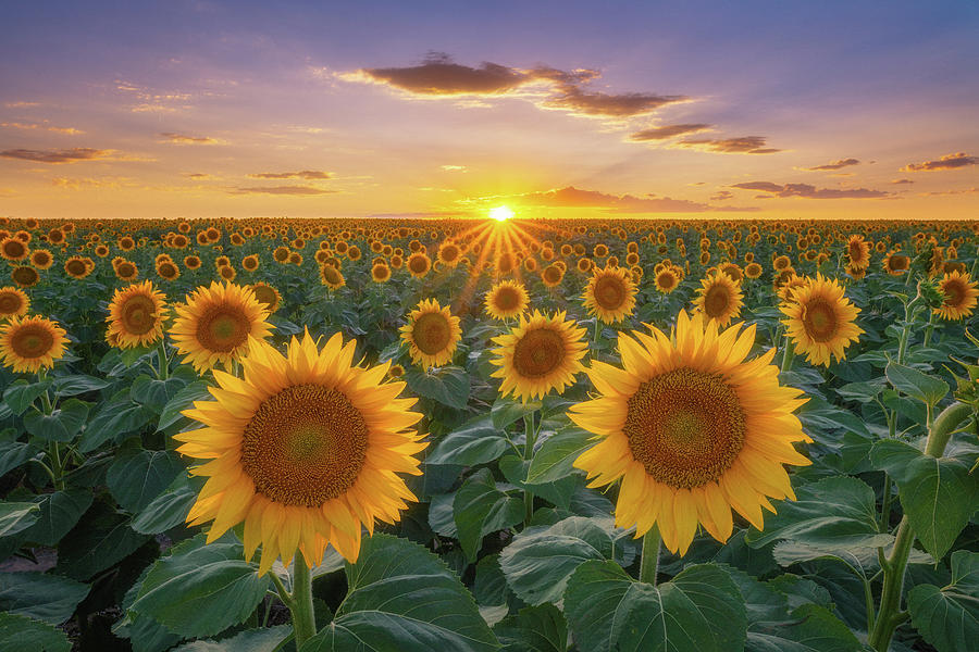 Sunflowers at Sunset by Darren White