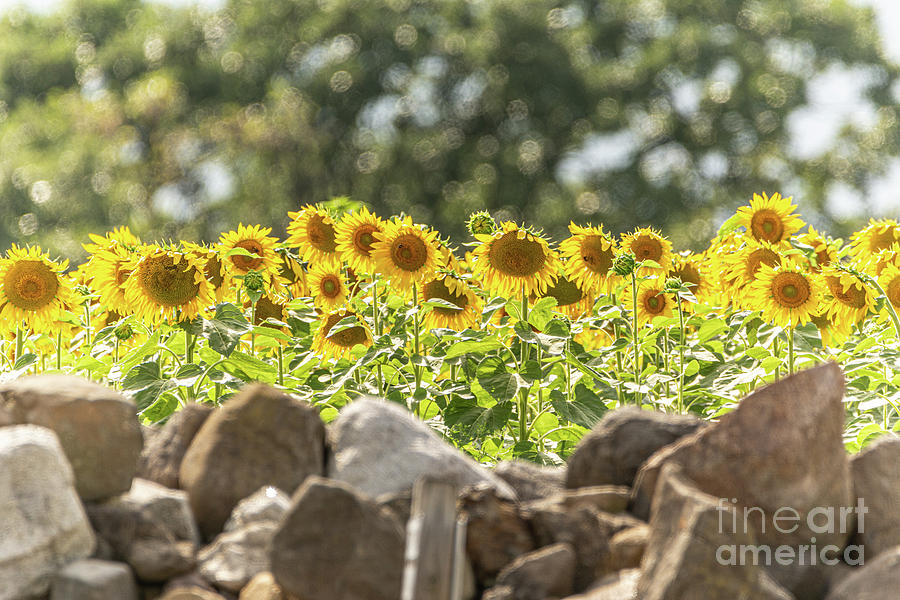 Sunflowers Photograph - Sunflowers Basking In Bokeh by Amfmgirl Photography