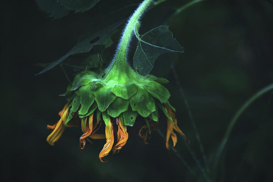 Sunflowers Beautiful End by Alice Gipson