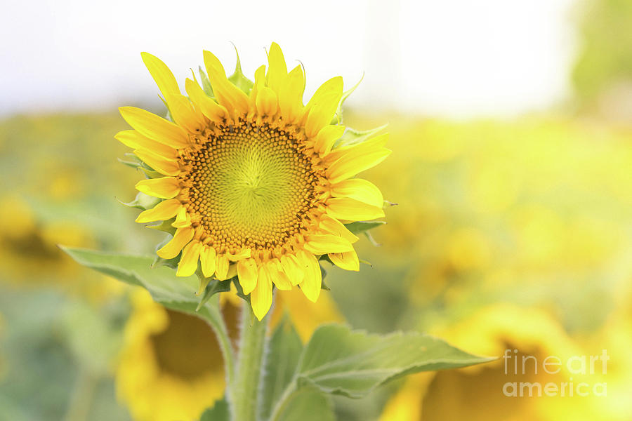 Sunflowers by Cathy Donohoue