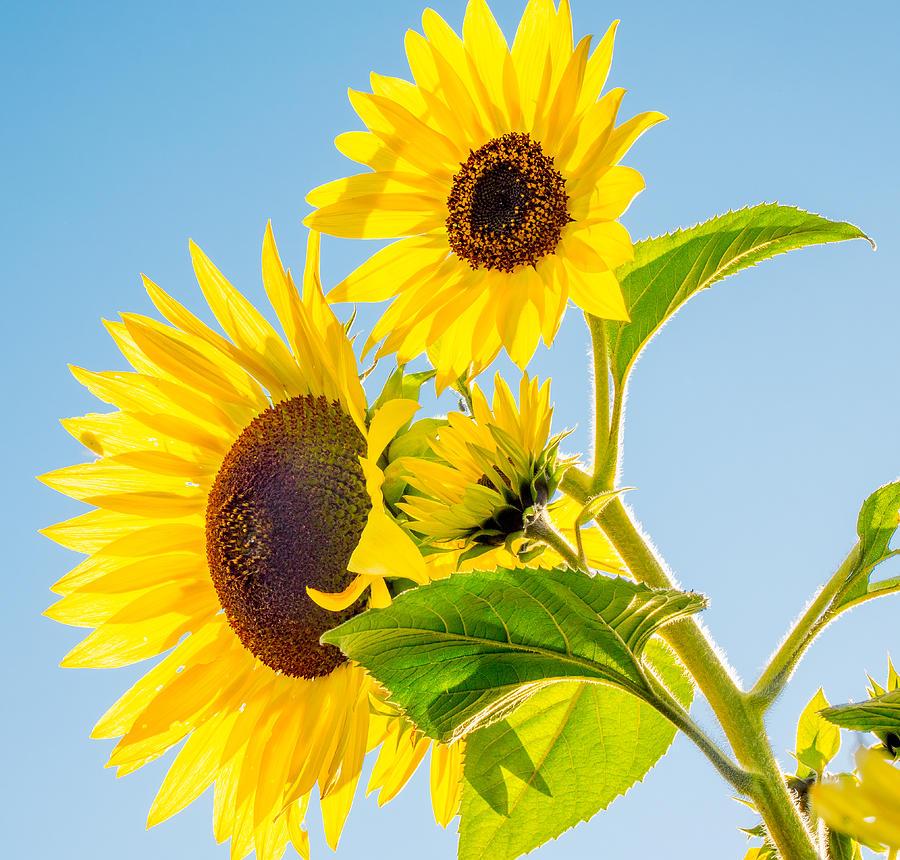 Sunflowers by Derek Dean