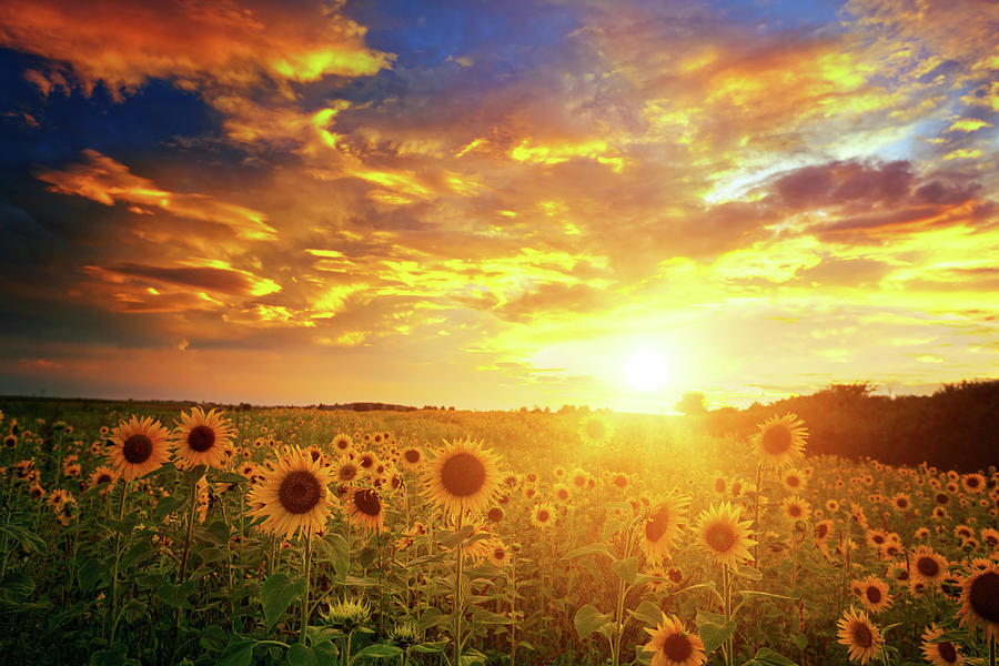Sunflowers Field And Sunset Sky Photograph by Avalon studio