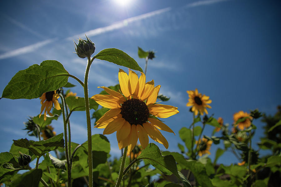 Sunflowers Photograph by Fred DeSousa