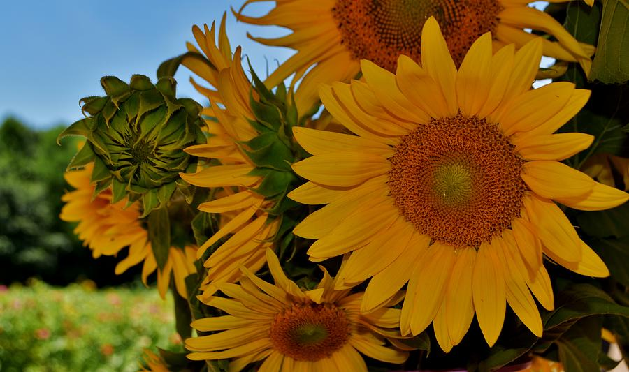 Sunflowers Galore by Eileen Brymer