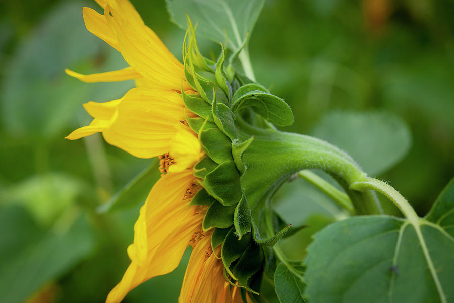 Sunflowers  Helianthus 143 by Rich Franco