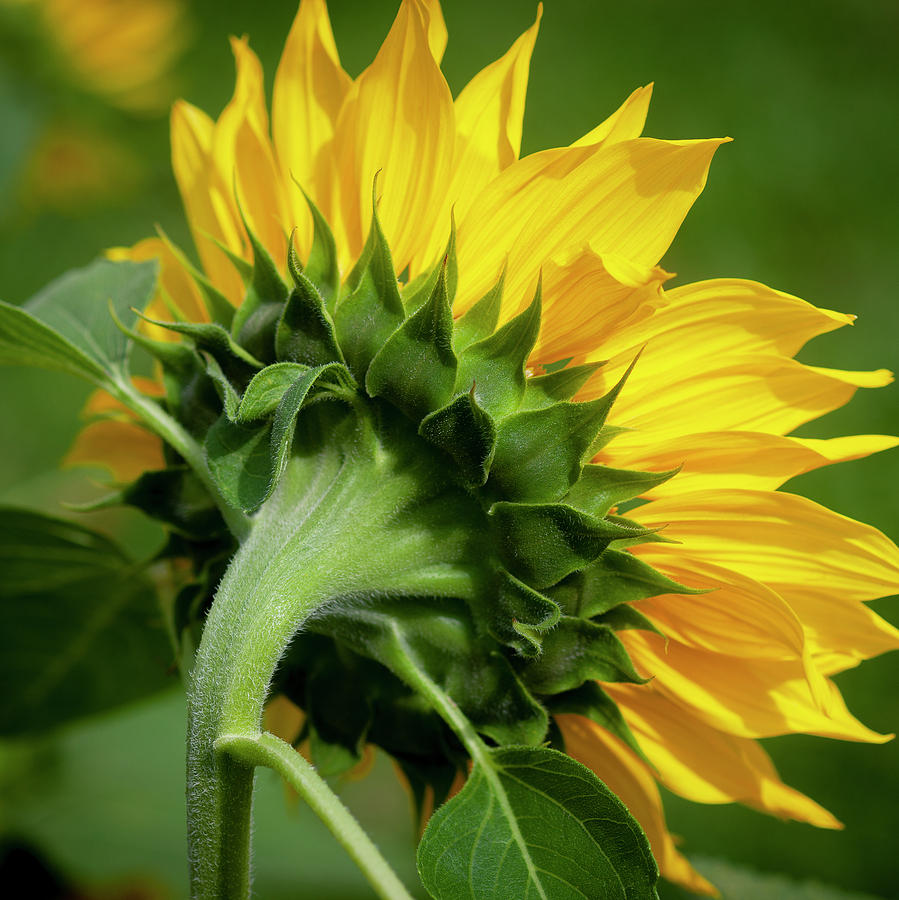 Sunflowers  Helianthus 150 by Rich Franco