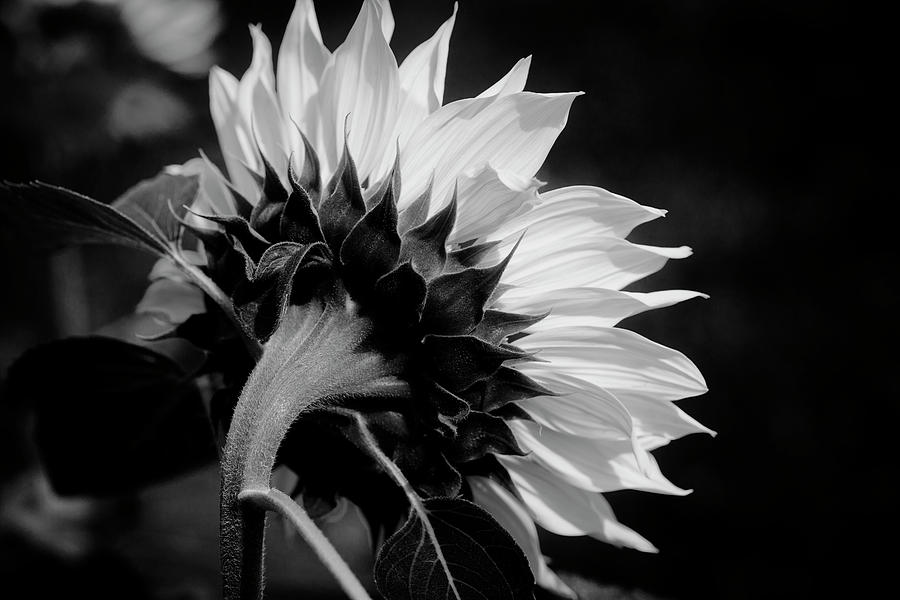 Sunflowers  Helianthus BW 303 by Rich Franco