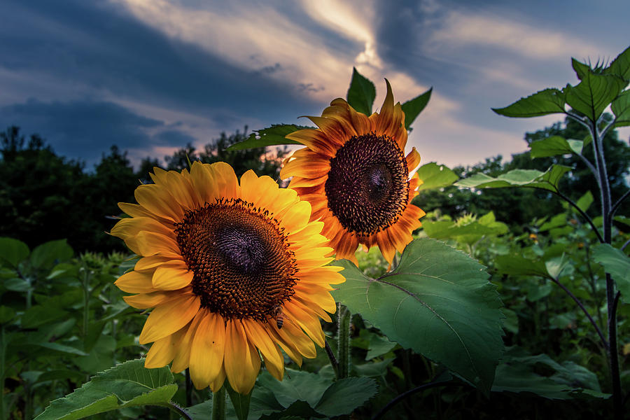 Sunflowers in Evening by Allin Sorenson