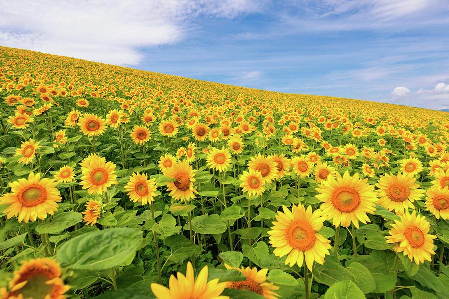 Sunflowers Photograph by Jason Arney