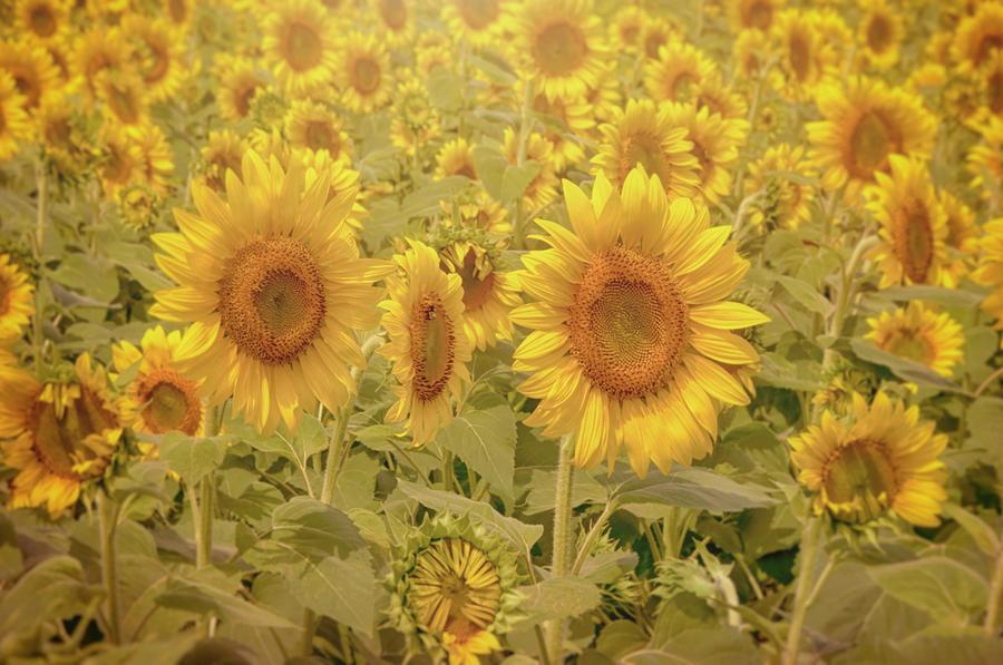 Sunflowers by Joann Vitali