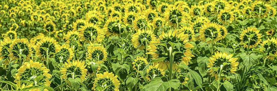 Sunflowers Looking Away by Darryl Brooks
