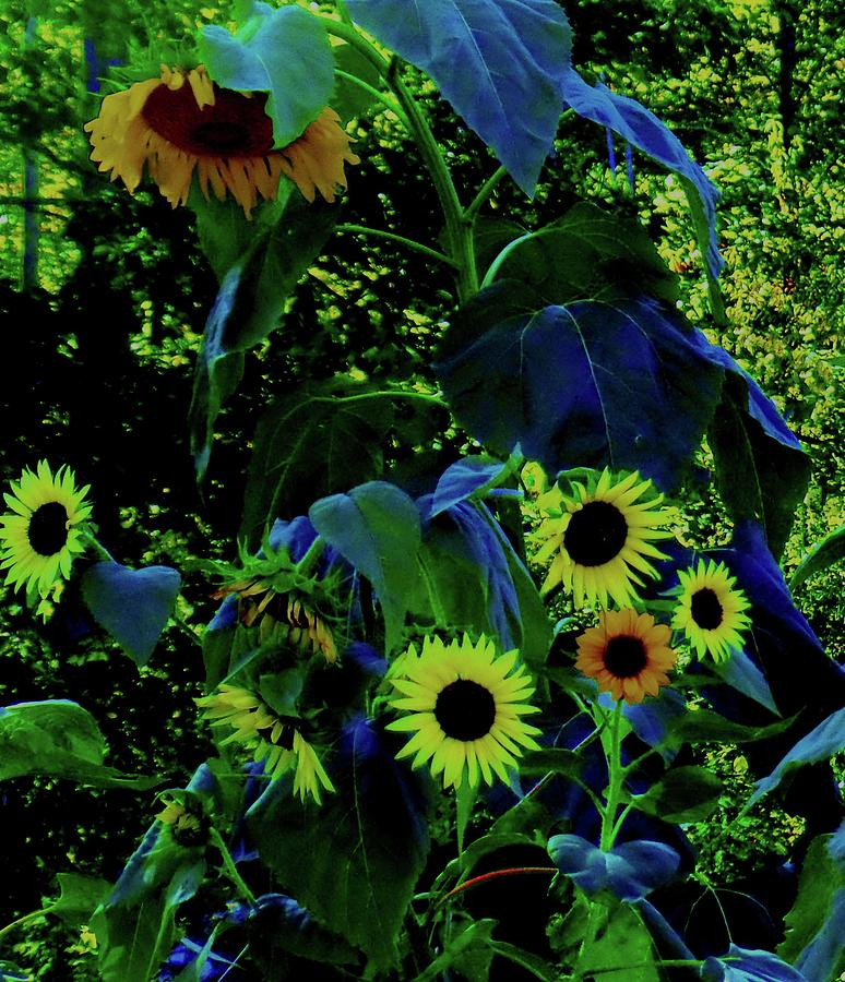 Sunflowers Sundowners Photograph