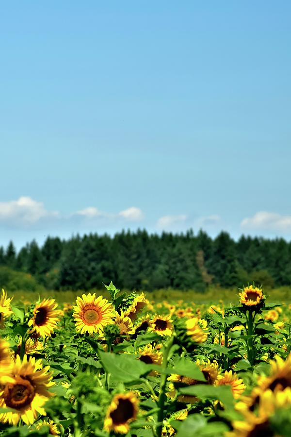 Sunflowers Trees Blue Sky by Jerry Sodorff
