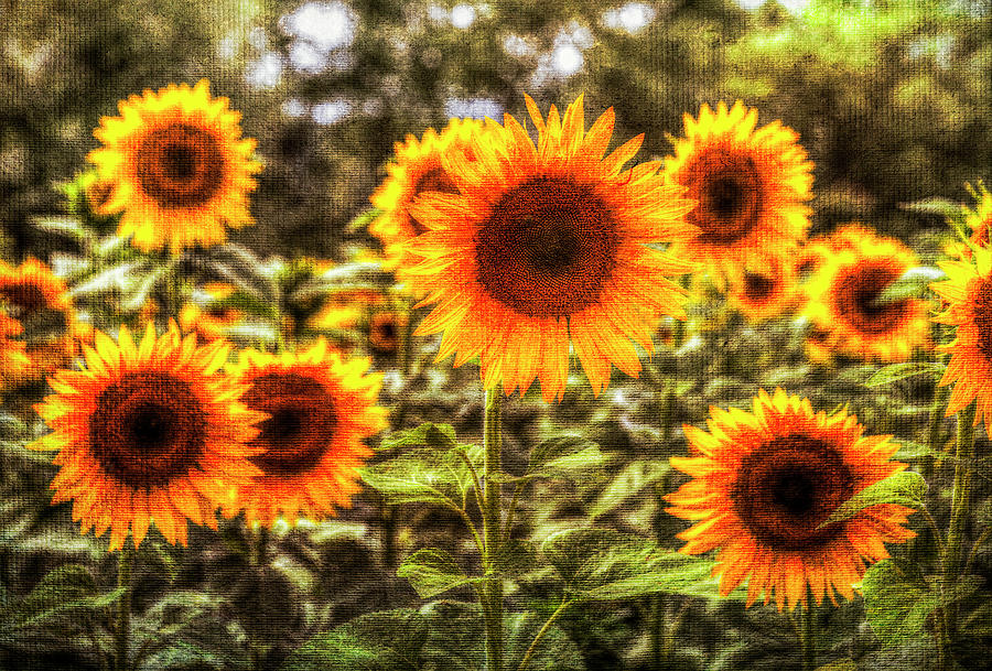Sunflowers With Canvas Texture Photograph